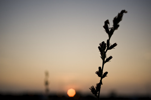 a weed in the setting sun