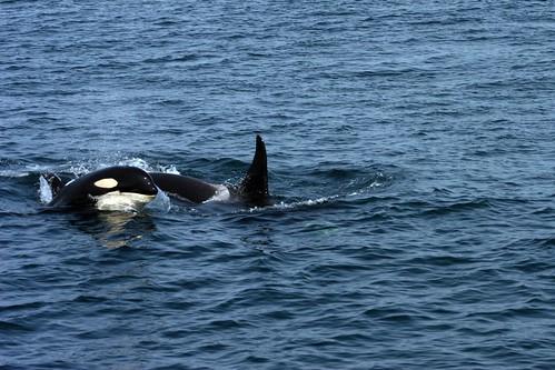 Orcas off San Juan Island