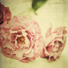 Sterling Roses II (Shana Rae {Florabella Collection}) Tags: flowers roses stilllife texture vintage nikon purple blossoms 85mm naturallight textures sterling d700 shanarae florabellatextures softdreamyethereal