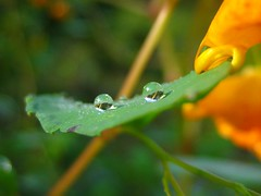 (Alejandro Imperial) Tags: morning two orange color detail macro green nature face canon leaf drops god bokeh powershot frog dew tiny thankful waterdrops jewelweed sd1000