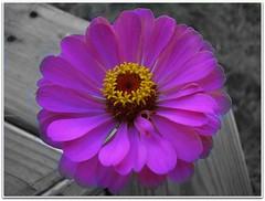 Pink Zinnia (ccmerino) Tags: pink flowers flower macro nature yellow flora zinnia macros