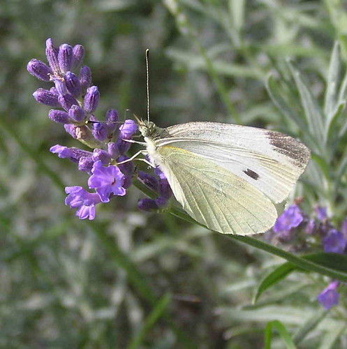 Butterfly & Rosemary in a Home Kitchen Garden
