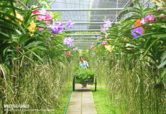 Happy job (Pkamo@Tai) Tags: trip travel flowers portrait plant orchid nature beautiful thailand tour bokeh candid thai chiangmai    puykamo   nothofthailand   baiorchidfarm meatang