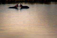 Bon baiser d'hippopotame (orang_asli) Tags: africa afrique faune gographie kruger lieux nature aficionados afriquedusud animals bassin eau hyppopotame hyppopotamus mammal mammifre nationalpark naturel parcnational pool southafrica tang géographie mammifère étang