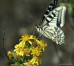 Papilio machaon  <Macaone> (yokopakumayoko) Tags: sardegna butterfly mariposa colori farfalla nuoro macaone anawesomeshot natureselegantshots wonderfulworldofmacro saariysqualitypictures papiliohospiton theoriginalgoldseal farfallediyokopakumayoko farfalledisardegna lepibellefarfalle farfalleinitalia farfallefiorivolanti dominioeukaryotaregnoanimaliaphylumarthropodasubphylumhexapodaclasseinsectaordinelepidopterasuperfamigliapapilionoideafamigliapapilionidaesottofamigliapapilioninaetribpapilioninigenerepapiliospeciepmachaon butterfliessardinia lasardegnaelesuefarfalle lepibellefarfallesuflickr