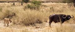 J'ai cru sentir une odeur qui craint.... (orang_asli) Tags: africa nature animals cat tanzania mammal nationalpark buffalo chat lion champs fields tarangire lieux afrique mammifère buffle aficionados faune naturel tanzanie savane parcnational géographie gographie mammifre