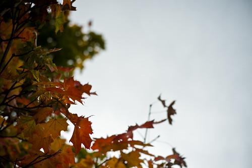 maple-lieve