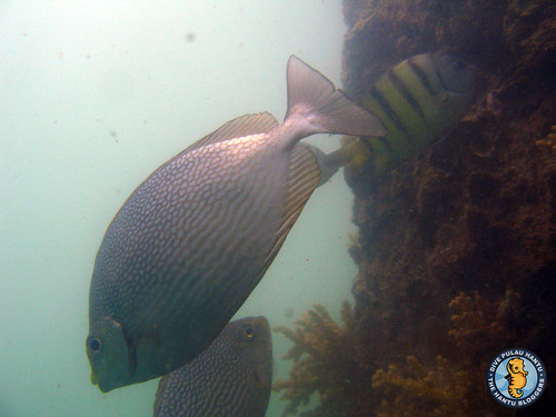 Streaked rabbitfish and Sergent major