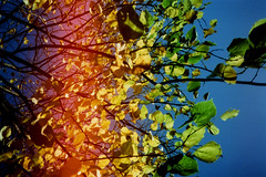 obsess (daveyp.) Tags: blue light sky film nature leaves 35mm focus kodak royal free pop plastic konica leak