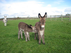 Ashley and Mr Khan (The Donkey Sanctuary) Tags: donkey foal
