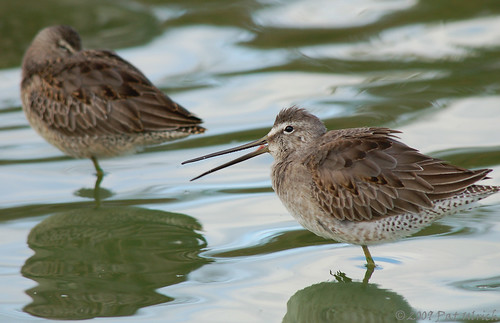 Calling dowitcher