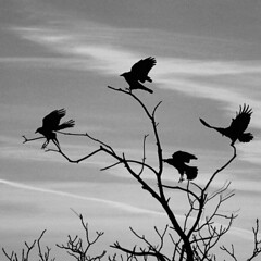 The Ravens are landing (NaPix -- (Time out)) Tags: bw halloween canon landscape action infrared hitchcock raven silhoette edgarallanpoe nevermore canonef70200mmf4lisusm napix infraredlook