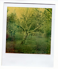 the orchard (bunchadogs & susan [off-reformatting hd]) Tags: thanks polaroid sx70 orchard atzfilm texturesbylesbrumes andflypapertexture