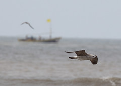 Akshi Beach, Konkan Coast (john164694) Tags: india birds gull maharashtra fishingboat konkancoast akshibeach slbflying