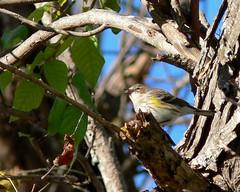 Yellow-rumped Warbler - 1