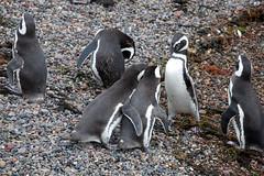 baudchon-baluchon-pinguins-3120