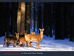 Joyeux Nol (Imapix) Tags: family famille winter snow canada art nature animal canon photography photo foto photographie quebec hiver deer qubec neige encounter chevreuil rencontre imapix whitetaildeer gaetanbourque specanimal 100commentgroup travelsofhomerodyssey