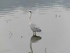 Heron in Kyoto's Hirosawa no Ike Lake