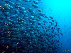 Yellowstripe scad - Koh Tao, Thailand (_takau99) Tags: trip travel fish topv111 topv2222 pen thailand topf50 topv555 topv333 underwater topv1111 topv999 topv444 may diving olympus topv222 explore scubadiving topv777 tao topf100 topv666 topf10 kohtao scad topv888 topf20 2011 yellowstripe topf30 topf40 topf80 topf70 topf90 takau99 penlite yellowstripescad topv60 epl1 leptolepis selaroidesleptolepis selaroides