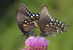 Spicebush Swallowtail (DrPhotoMoto) Tags: butterfly thistle northcarolina picnik spicebushswallowtail richmondcounty papiliotroilus ellerbe afjranch