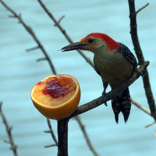 Red Bellied Woodpecker Eating an Orange with Jelly
