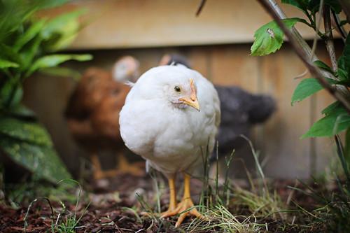 Chickens 215