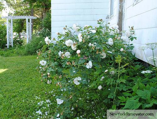 rosesgrowing