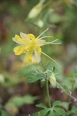 Denver Gold Flower (binkthegeo) Tags: park flowers flower nature canon garden texas tx yellowflower denton longtail citypark dentontx longspurs denvergold