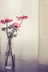 Red Anemones (RoCafe on/off) Tags: anemones flowers window curtain naturallight vase nikkormicro105f28 nikond600