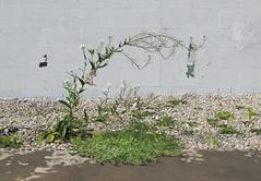 I had a vision of WHITE CAMPION and BUCKHORN PLANTAIN. (Tim Kiser) Tags: 2014 20140705 capitalregion eastelmstreet elmstreet englishplantain img3356 inghamcounty inghamcountymichigan july july2014 lansing lansingmichigan michigan plantago plantagolanceolata silene silenelatifolia southside buckhornplantain centralmichigan cinderblockbuilding cinderblockwall cinderblocks concreteblockbuilding concreteblockwall concreteblocks floweringweeds flowers gravel landscapinggravel largegravel midmichigan paintedcinderblocks paintedconcreteblocks paved pavement plantain southlansing southsideoflansing southcentralmichigan weeds weedsingravel whitecampion whiteflowers unitedstates