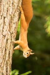Red Squirrel, Tresco (seaslater) Tags: tresco trescoabbeygardens redsquirrel sciurus vulgaris