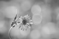 Luz  / Light (hequebaeza) Tags: naturaleza vegetación vegetation flores flowers flora blancoynegro monocromático bw monocromo nikon d5100 nikond5100 macromonday