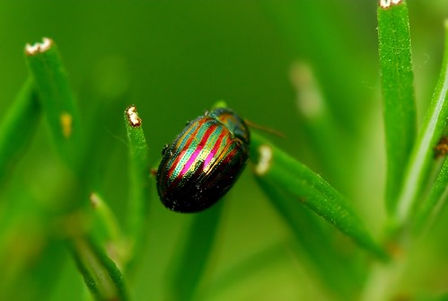 Nature's wonder, ( Rosemary leaf Beetle ) this colourful insect or bug got my reflections on.