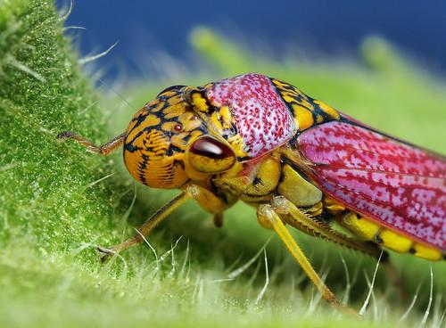 フリー画像| 節足動物| 昆虫| ヨコバイ|        フリー素材|