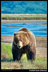 Kodiak bear (Katmai National Park, Alaska) (Juan C Ruiz) Tags: bear brown alaska grizzly kodiak twop potofgold katmai concordians