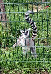 TigerWorld_52309_LemurB