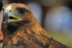 in the eye of the golden eagle (Abdullateef Al Marzouqi) Tags: eagle goldeneagle laati internationalfalconryfestival2009