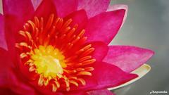 Blooming Laydakari Fulgens Lotus / บัวฝรั่ง , แดงอุบล , เลเดคเคอร์ริฟูลเจน