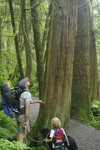 Stripped Cedar