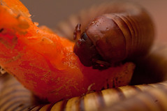 Munching Pede (nebarnix) Tags: pets brown animals yellow gold tan bugs bands rings erica captive millipede ringed banded millipedes myriapoda ornatus diplopoda desertmillipede orthoporus orthoporusornatus spirostreptidae nebarnix spirostreptida desertmillipedes