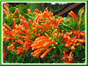 Pyrostegia venusta (Flame Vine, Flaming Trumpet, Orange Trumpet Vine/Creeper, Golden Shower)