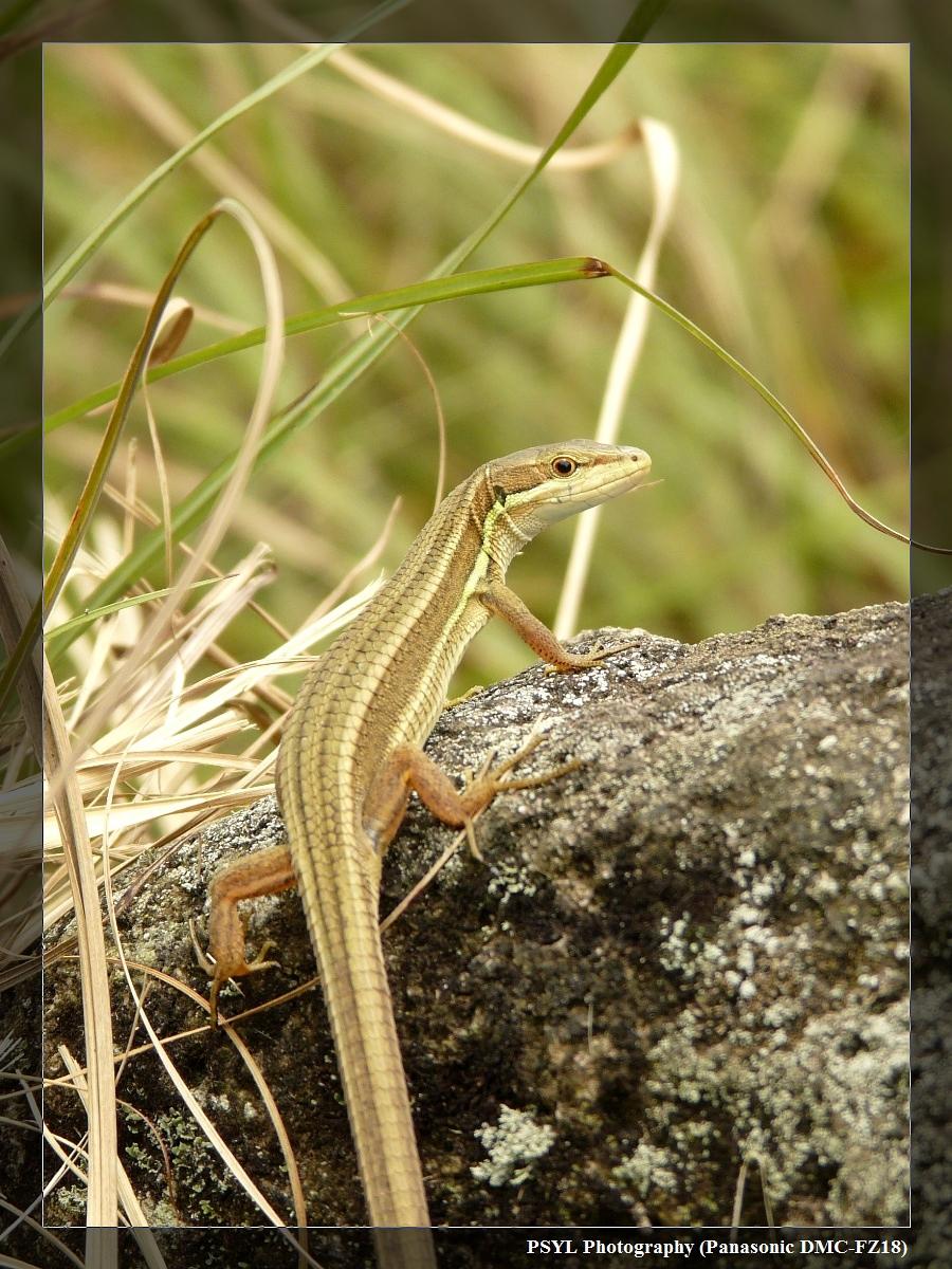 Formosan Grass Lizard (Takydromus formosanus) - 台灣草蜥