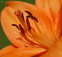 Orange Lily (Jason Prince Photography) Tags: ladywell livingston flickraward ringexcellence blinkagain