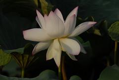 @  () Tags: lotus      indianlotus sacredlotus nelumbonucifera beanofindia
