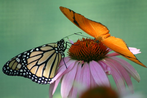 Monarch butterfly and his orange friend