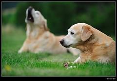 Betta's Dogs (Giovanni Gori) Tags: portrait dog animals cane geotagged nikon flickr labrador retriever explore estrellas bologna 5bestdogs cani wildness explored ululato goldenmix nikkor70200mmf28gvr d700 quarzoespecial masquemilpalabras dpspets giovannigori