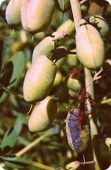Assassin Bugs (jpellgen) Tags: summer plants green minnesota garden nikon minneapolis august bugs 1855mm twincities nikkor wildflower mn 2009 cpl brynmawr assassin d40 eloisebutler theodorewirth