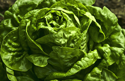 Fresh lettuce in season. Photo by Flickr user Muffet