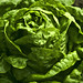 lettuce image, photo or clip art