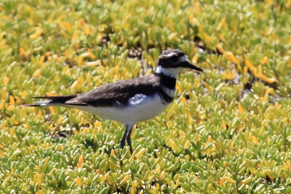 154_killdeer